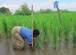 Résilience des Agroécosystèmes face au Climat et Intensification Ecologique au Sahel